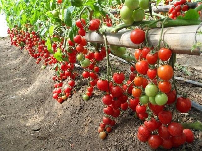 thời vụ trồng cà chua