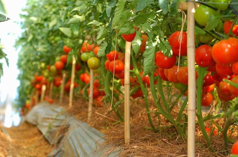 thời vụ trồng cà chua ở miền bắc