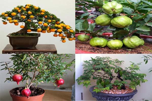 kỹ thuật trồng cây ăn quả trong chậu