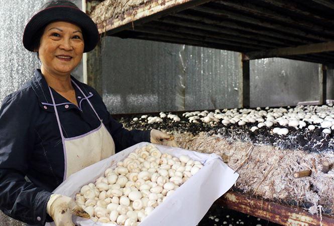 trồng nấm mỡ bằng công nghệ cao