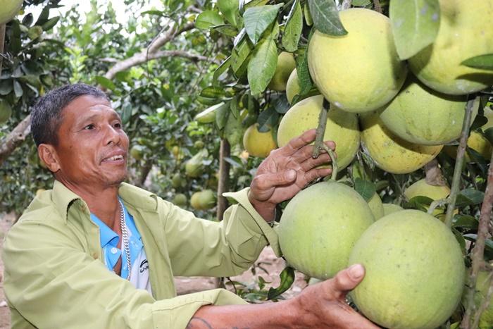 Ở nơi khỉ ho cò gáy, trồng bưởi đặc sản Hà Nội mà giàu có