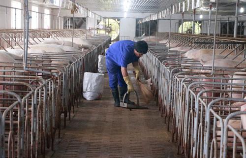 Giá lợn hơi tăng cao, nguồn cung khan hiếm