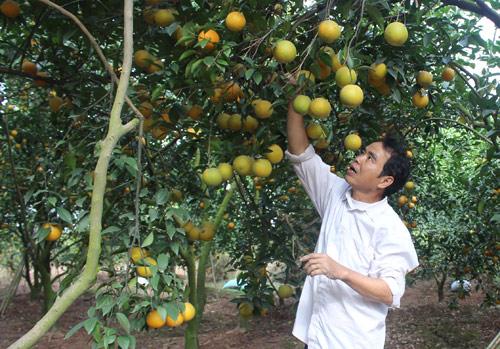 Những nông dân trồng cam khiến dân thủ đô 'lác mắt'