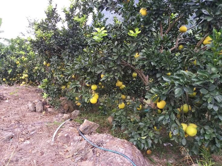 Chủ tịch Hội NDVN thăm vườn bưởi vạn cây, vạn quả ở Thái Nguyên